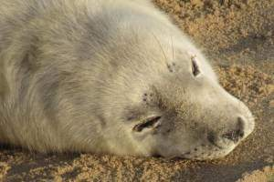 White seal laying on beach at Horsey